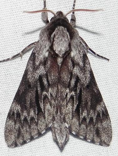 Lapara bombycoides - Lapara bombycoides