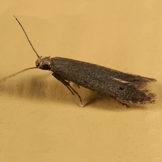 moth - Monochroa