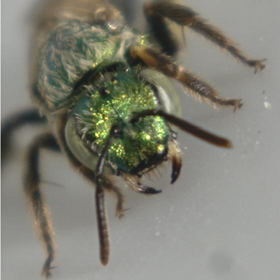 Shiny green bee--Augochlorini? - Agapostemon - female
