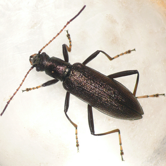 Darkling beetle - Arthromacra aenea