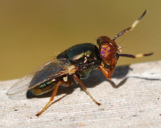 fly - Physiphora clausa