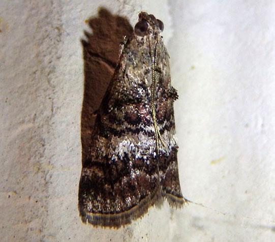 Pyralid - Pococera