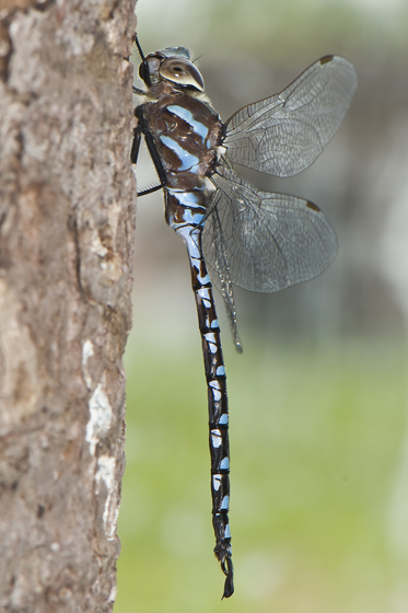 Lance-tipped Darner, new for Kouchibouguac National Park in 2009! - Aeshna constricta - male