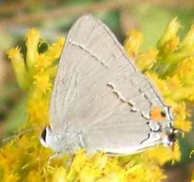 Lepidoptera Gray Hairstreak - Strymon melinus
