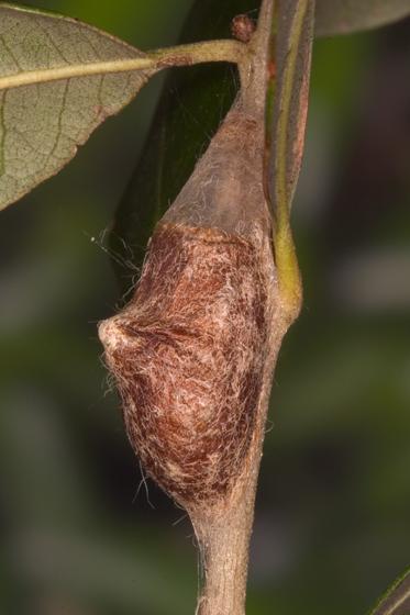 Flannel Moth - Megalopyge opercularis