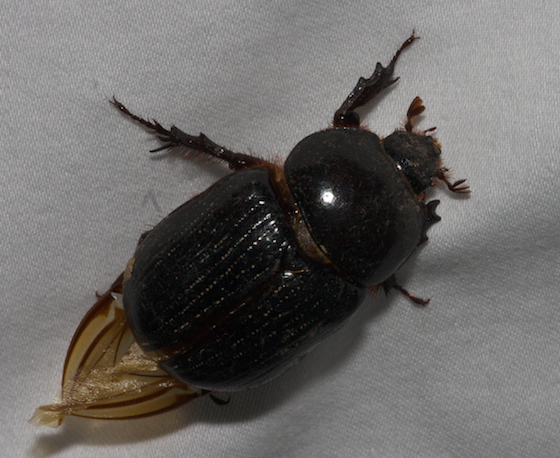 Beetle?? - Xyloryctes jamaicensis - female
