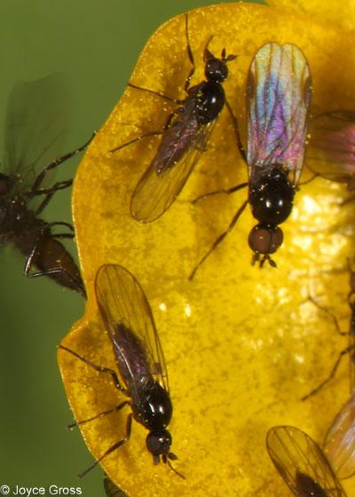 flies - Anthalia - male - female