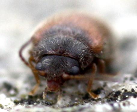 Beetle - Contacyphon
