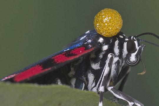 Faithful Beauty - Response to predators - Composia fidelissima - female