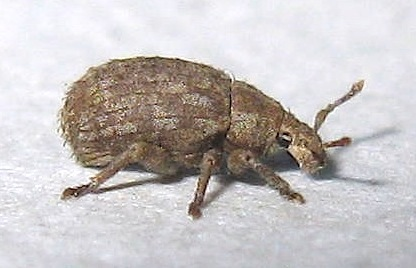 Very Small Snout Beetle - Romualdius scaber