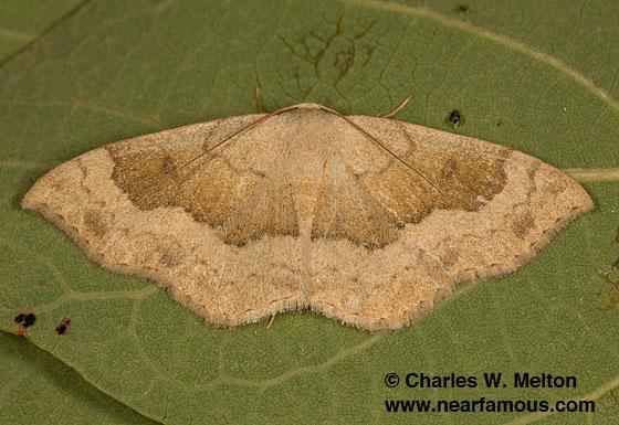 Semaeopus gracilata - female