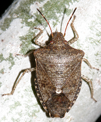 speckled legged stink bug - Euschistus tristigmus