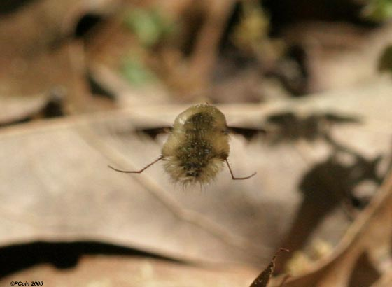 Bee Fly Behavior - Bombylius major - male