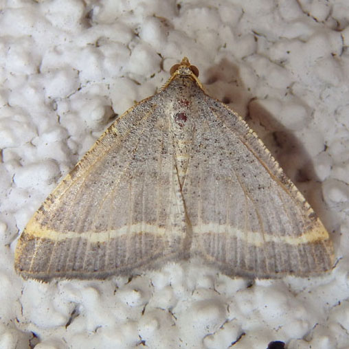 Geometrid Moth - Macaria guenearia