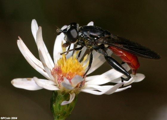 Flower Fly - Chalcosyrphus piger