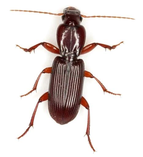 Stenomorphus californicus (Ménétries) - Stenomorphus californicus - male
