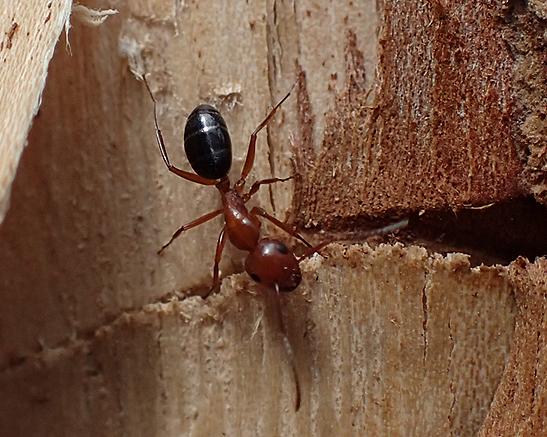 myrmentoma ? - Camponotus decipiens