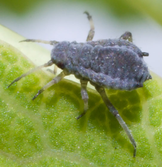Aphid Colony - Genus/Species Possible? - Aphis
