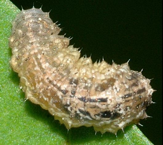 Unstretched larva