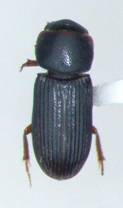 Ataenius gracilis