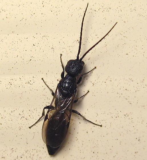 Pristocera armifera - Pristepyris armiferus - male