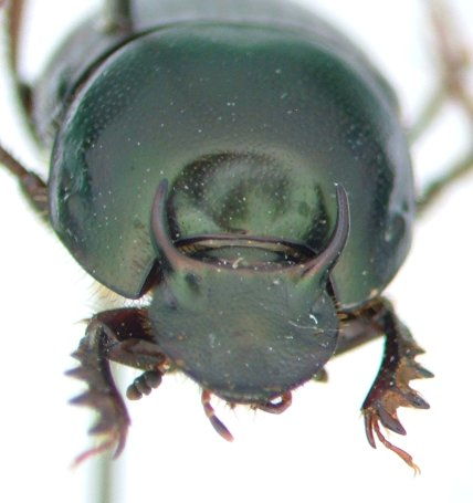 Dung beetle - Onthophagus taurus - male