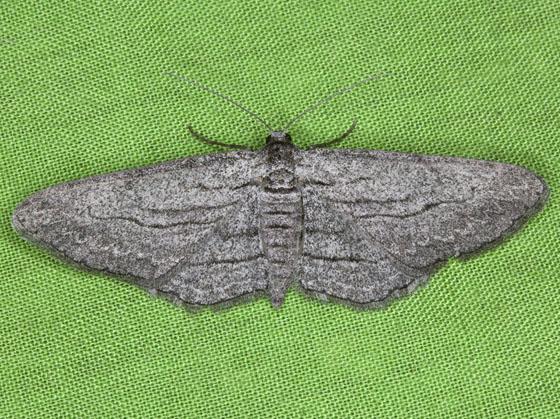 Moth ZH3Z6787