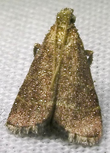 dew-covered moth - Arta statalis