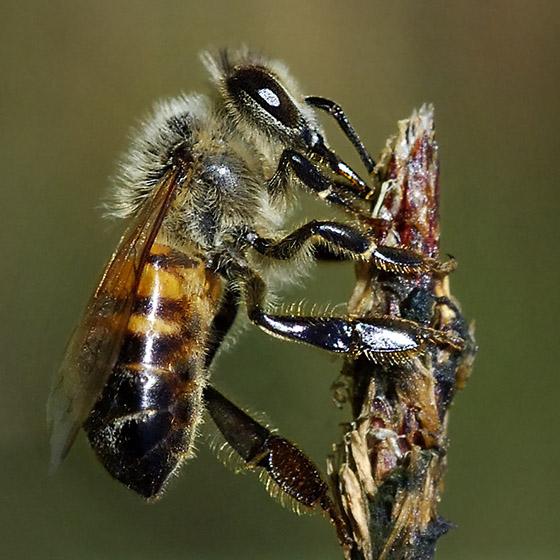 Apis mellifera 1269 - Apis mellifera - female