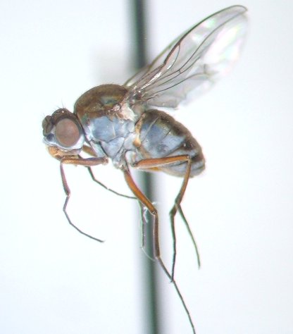 Brachydeutera - Brachydeutera argentata