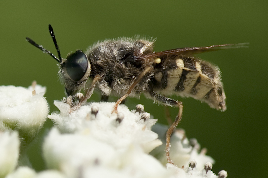 Fly - Syrphid? - Stratiomys