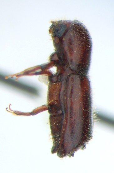 Scolytid - Xyleborus celsus - female