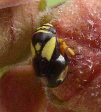 bug - Clastoptera proteus