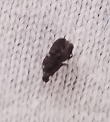 Tiny Black Bug with White Markings