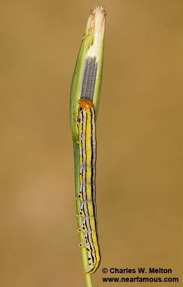 Larva - Eulithosia plesioglauca
