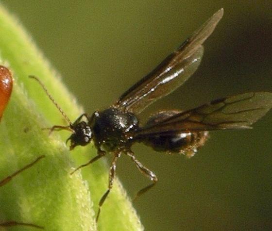 queen with red abdomen - Carebara longii - male
