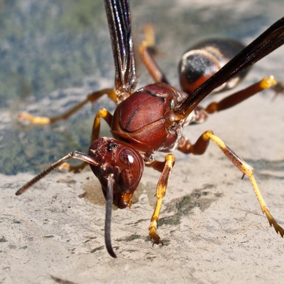 Wasp - Polistes - female