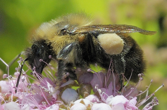 Bee with hitchhiker - Bombus - female