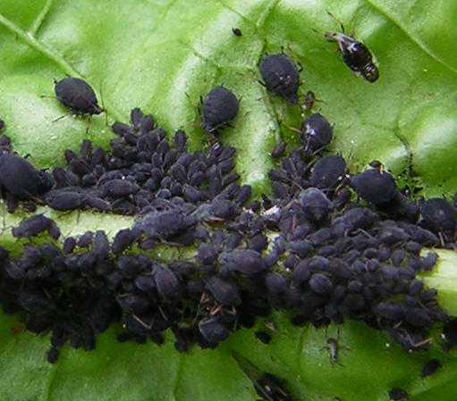 Black aphids on lettuce - Aphis