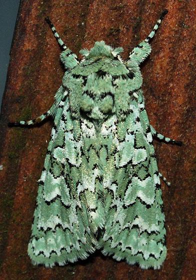 Maybe Bryolymnia viridata - Feralia februalis