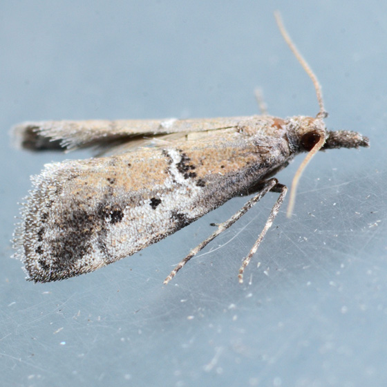 5649 - Alpheioides parvulalis