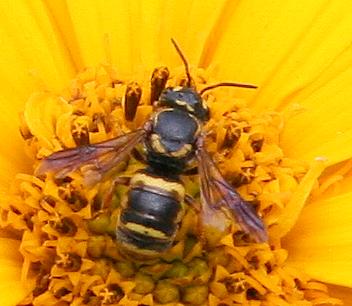 Bee (Stelis?) ID Request - Stelis louisae
