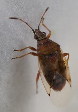 Birch Catkin Bug (Kleidocerys resedae) ? - Kleidocerys resedae