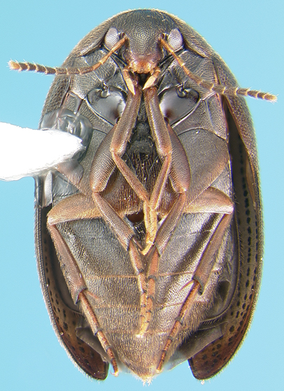 Eucinetid - Nycteus falsus