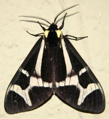 Northern Flag Moth - Dysschema howardi - male