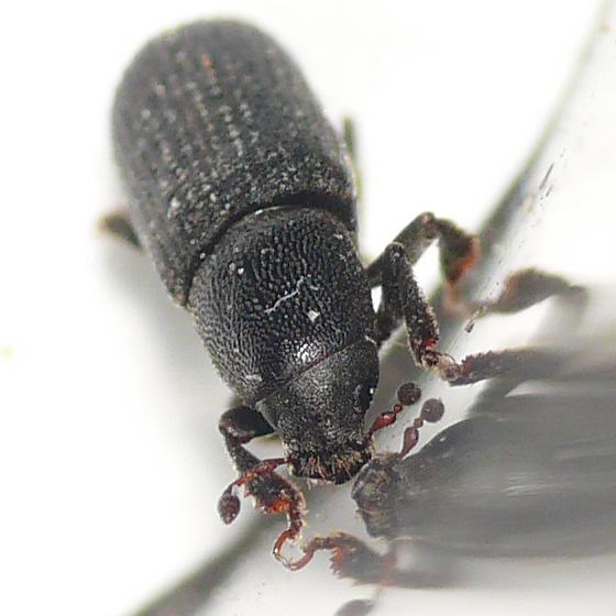 Bark beetle from Banff 10.07.09 - Hylastes