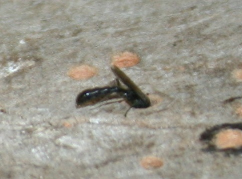 Wasp in wood - Trypoxylon