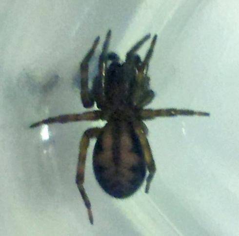 Dark Brown Michigan Found Spider Callobius Bennetti Bugguidenet