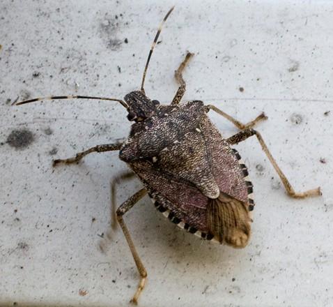 Brooklyn Bug - Halyomorpha halys