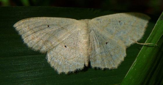 Scopula limboundata (Large Lace-Border) - Scopula limboundata
